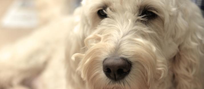 Hur allergivänlig är din hund?