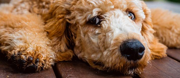 Allergivänliga hundraser - en myt?